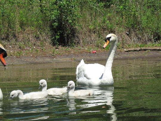 Toronto island swans
