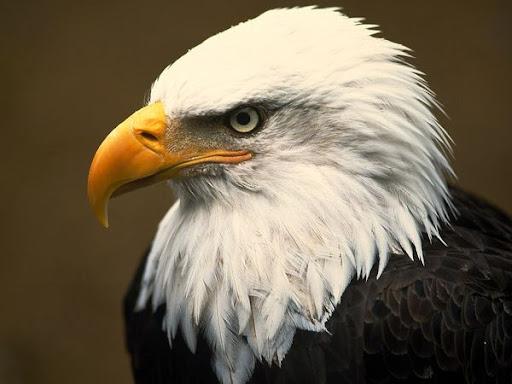http://lh3.ggpht.com/_PQcPYfGhKuY/TWWOpWL4ZCI/AAAAAAAABNU/c5f2nk_qzsM/bald-eagle_1_600x450.jpg
