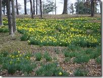 Daffodil_0002