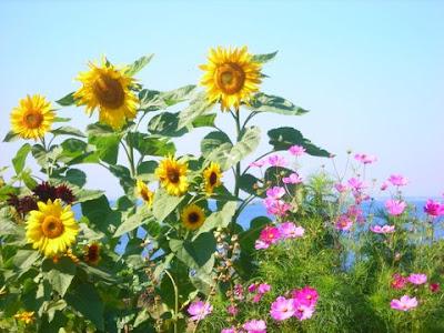 Garden flowers, Star Island