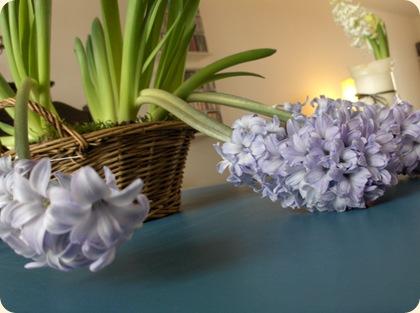 Trætte hyacinter