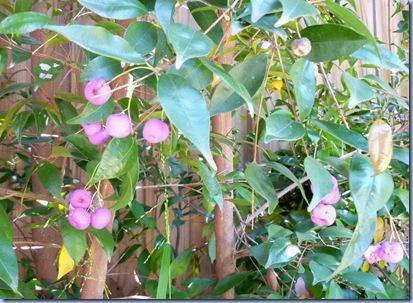 pinkfruit