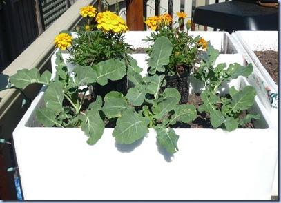 april 11th cauliflowers