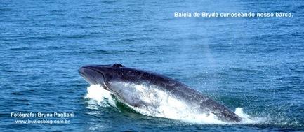 Foto 2 Baleia de Bryde curioseando nosso barco.