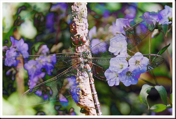 Bluebell Dragonfly