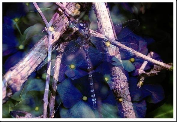DRAGONFLY HYDRANGEA PURPLE