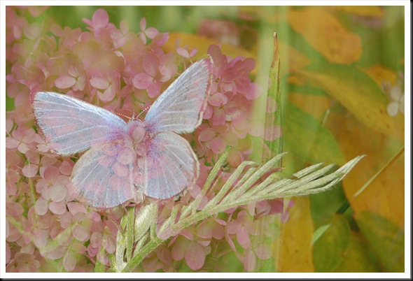 BUTTERFLIES Silvery Blue and Hydrangeas