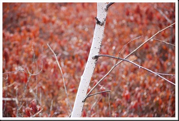 birch pink