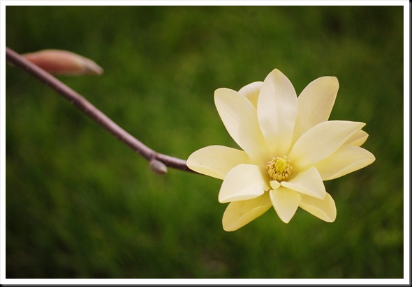 ~yellow magnolia~