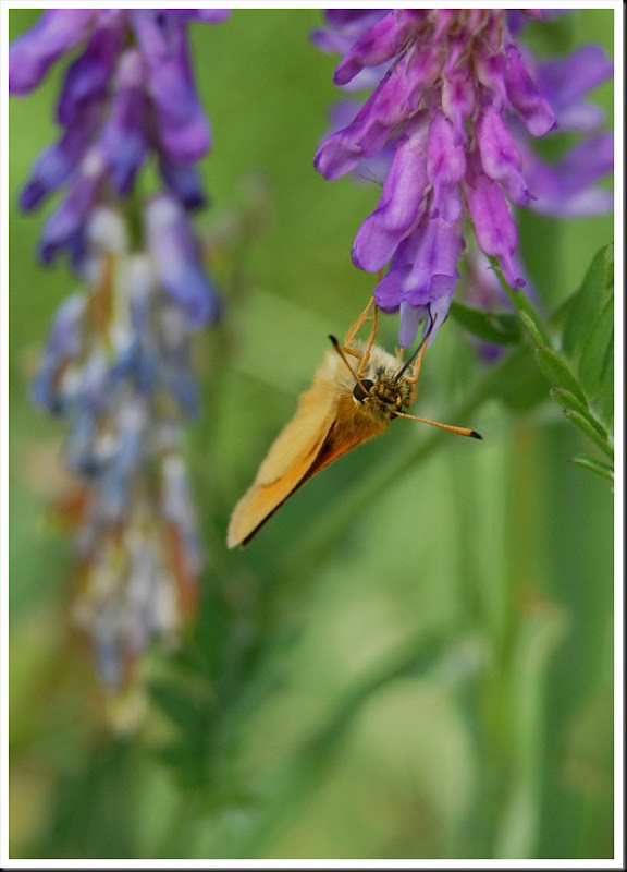 Skipper & Cow Vetch