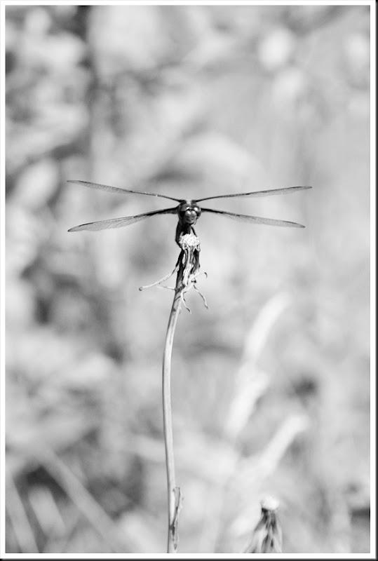 Dragonfly totem pole BW