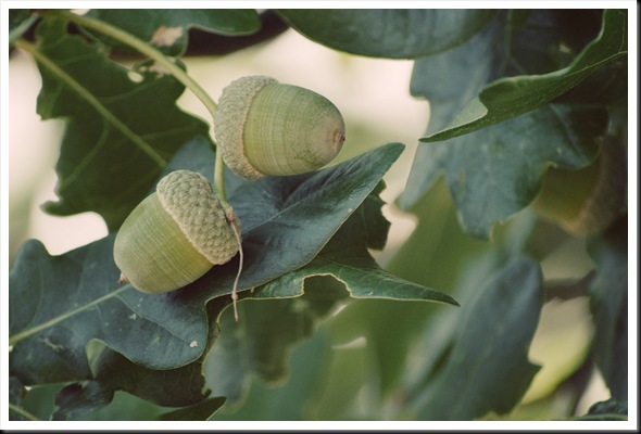 green acorns