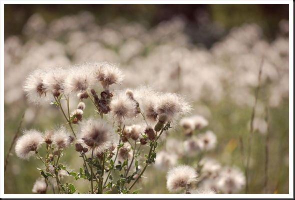 thistledown
