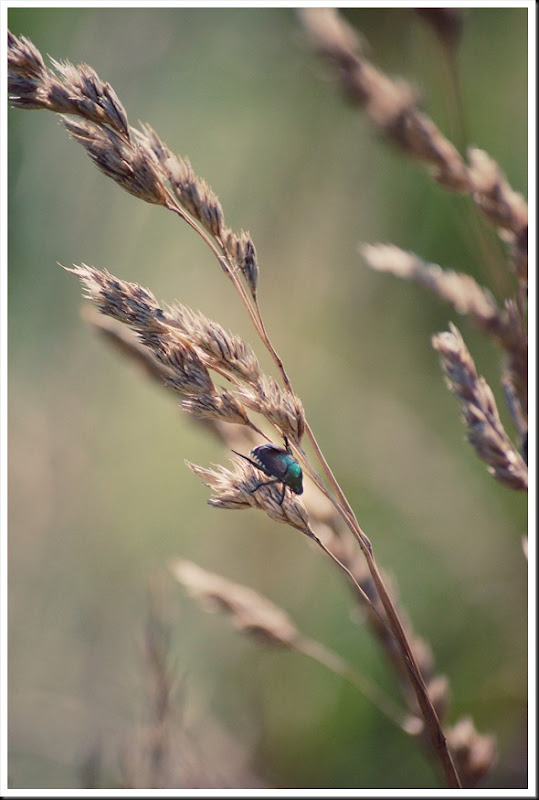 japanese beetle grass