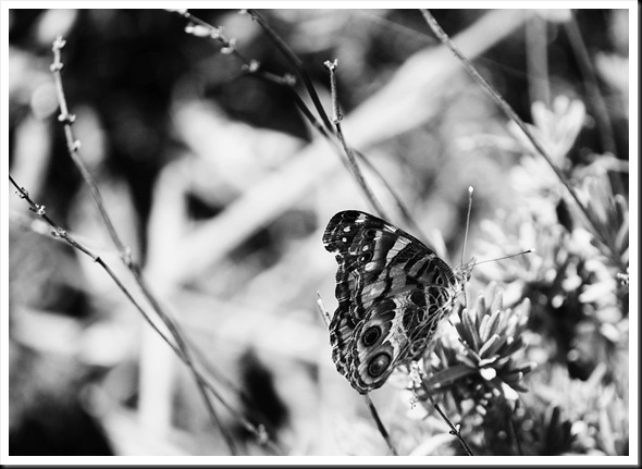 BW Butterfly Painted Lady 2