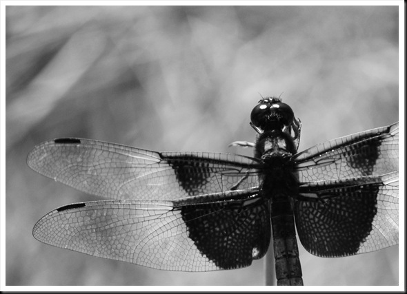 BW Dragonfly 2