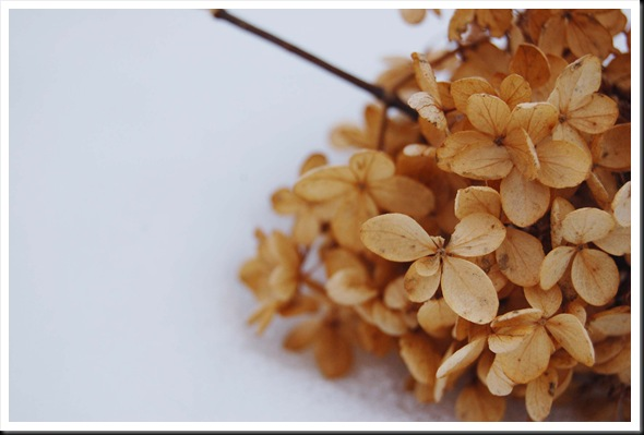 winter hydrangea stem