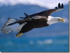 bald-eagle-flight
