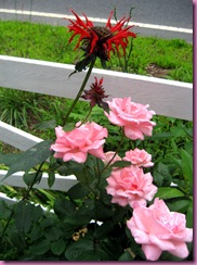 beebalm and roses
