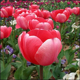 220px-Tulip_-_floriade_canberra03