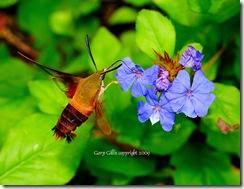 GaryGillis_Hummingbird_Moth