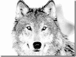 wolf-sketch