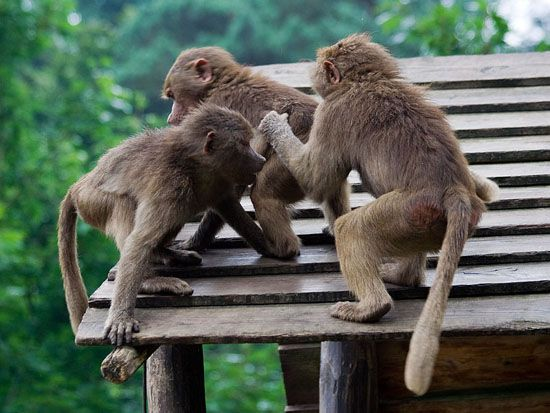 Japanse Makaken dierenpark Amersfoort