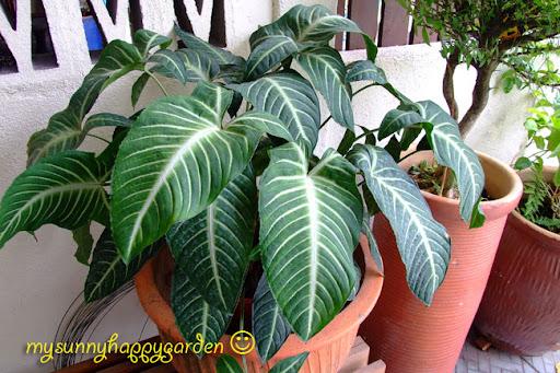 Images Of Money Plant. money plant creeper.