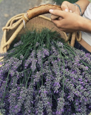 colin-brynn-lavender-harvest-vashon-washington-state-united-states-of-america-north-america