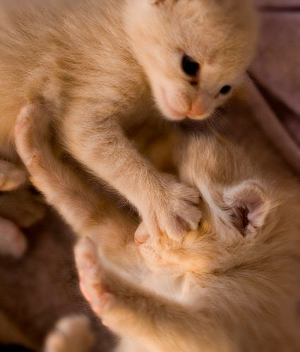 cute ginger kitten covers another kitten's eye