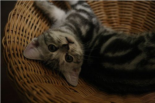 cute american shorthair kitten