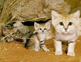 cute sand cats wild feline pic