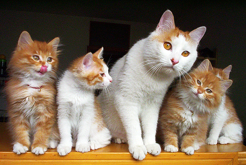 cute kittens father cat pic