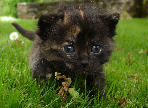 cute tortie kitten running on grass lawn cat pic