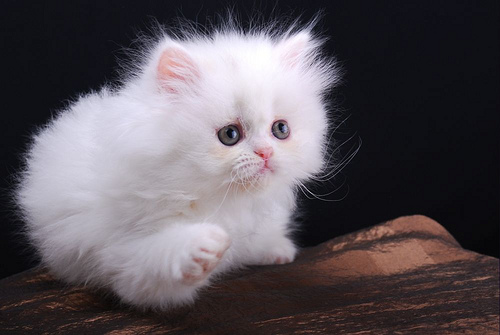 cute white kitten persian cat pic