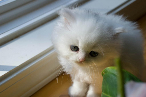 cute white persian kitten cat pic