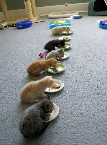 cute kittens lined up eating food pic