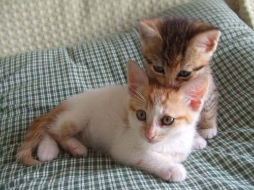 cute kittens grooming cat pic