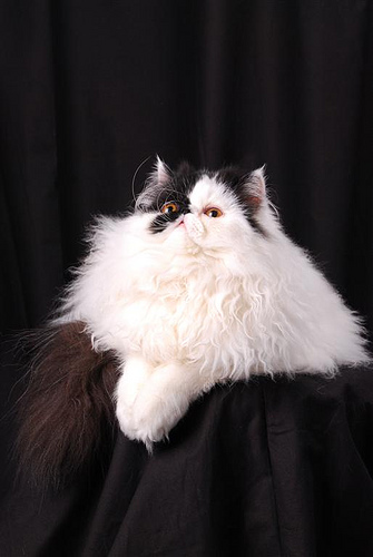 cute muffin persian cat pic