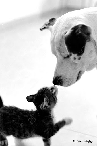 cute kitten kisses dog pic