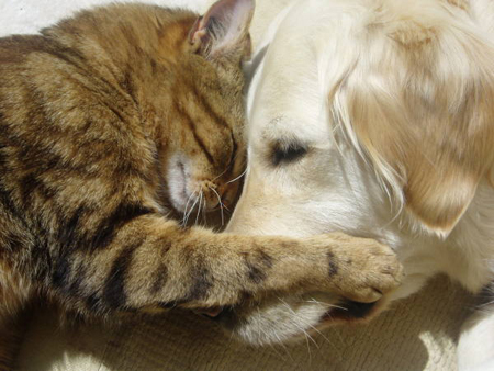 cute cat cuddling with golden retriever dog pic
