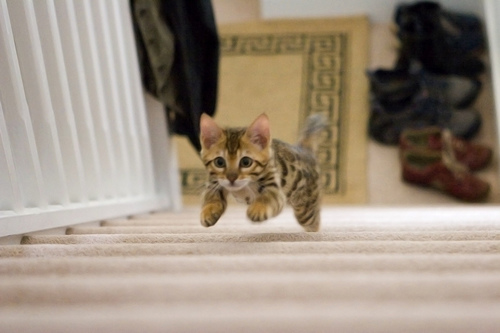 cute bengal cat running up stairs