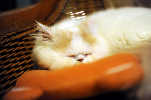 cute persian kitten napping sleeping pic