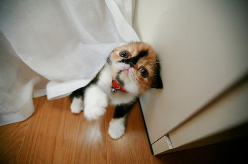 cute calico kitten playing with curtain