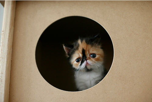 cute calico kitten in cat house