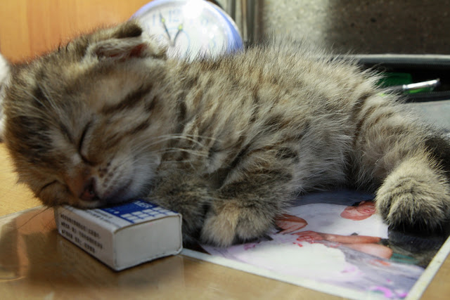cute scottish fold kitten napping