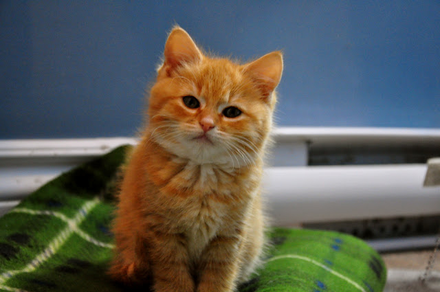 cute ginger kitten furry baby cat pic