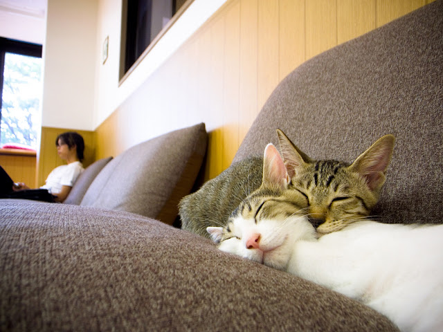 cute cats napping together on a couch at a japanese cat cafe