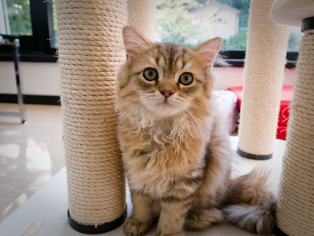 cute fluffy kitty at japanese cat cafe
