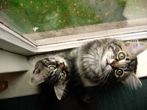 cute manx kittens looking up